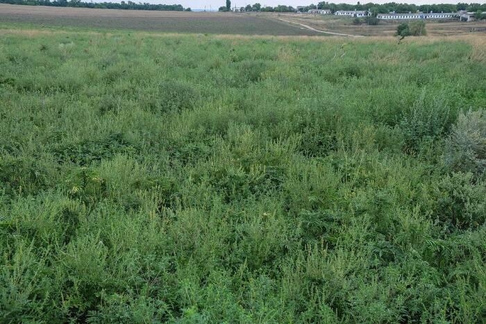 Специалисты Минсельхозприроды провели более 160 проверок по выявлению амброзии