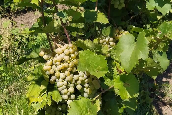 В Дубоссарском районе ожидают получить хороший урожай винограда